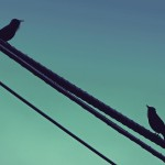 Starling Birds Black Bird Dialogue Cable Singing